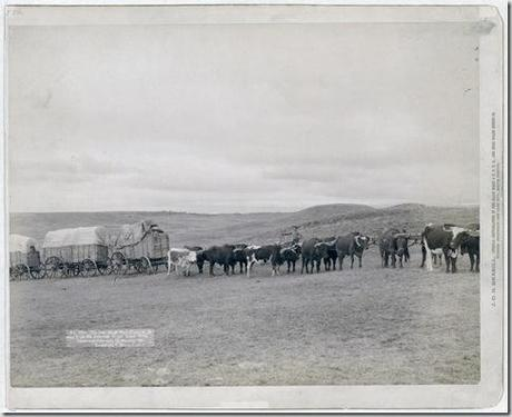 Title: The last large bull train on its way from the railroad to the Black Hills Summary: Train of oxen and three wagons in open field. 1890. Repository: Library of Congress Prints and Photographs Division Washington, D.C. 20540