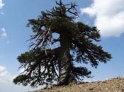 Grecia ospita l'essere vivente anziano d'Europa: Adone oltre mille anni