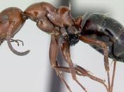 Camponotus lateralis, nuova colonia