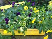 #fioridivenerdì- viole ricadenti l'inverno