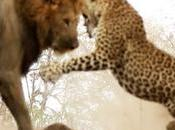 VIDEO: leone attacca leopardo dorme. avrà meglio?