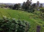 Tontalete, villaggio Sulawesi Utara, colline risaie