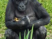Miracoli animalosi: gorilla paperella