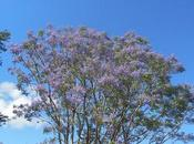 Madagascar jacarande Antsirabe