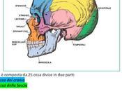 L'anatomia viso l'evoluzione della pelle nelle diverse fasi vita