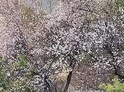 Mandorli fiore: giorno, primavera, guardando verso sud.
