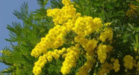 8 Marzo. Perchè alla Festa della Donna si regalano le mimose? Ecco la leggenda dell'albero