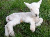 pianto degli agnelli