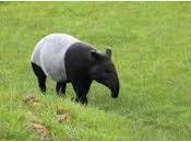 tapiro malese