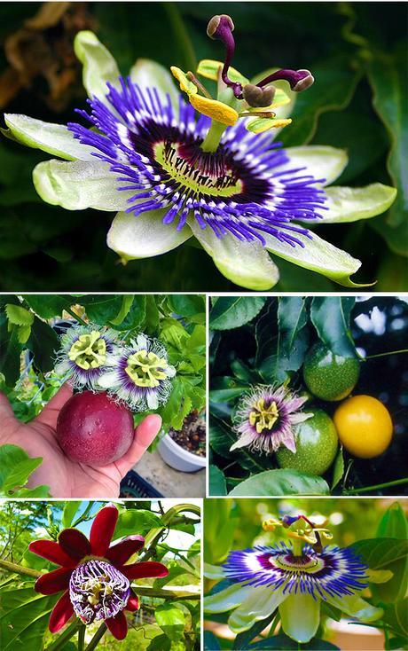 Il fiore della passione...Passiflora