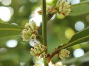 Laurus Nobilis (Alloro): fiori semi