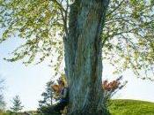 """tasso, l'albero """"della morte"""" muore"""