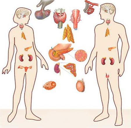 endokrine System