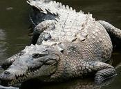 Crocodylus acutus pericolo estinzione delle squame pregiate.