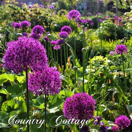 Are you ready for lots of purple alliums? My garden looks terrific these days with hundreds of alliums, columbines and fresh green. I can't get enough of this view! Hope you enjoy it, too!  We hebben weer heel veel allium bollen gezet afgelopen naarjaar en ze zijn nu aan het bloeien! Het ziet er echt geweldig uit.   Jedes Jahr kann ich s kaum erwarten bis meine Alliums blühen und jetzt ist es wieder soweit   #landelijketuin #landelijkesfeer #landliebe #landelijkestijl #tuin #landliebe #landliv #hornveilchen #sweetviolet #mycountrycottage #countrycottage #frühlingsgefühle #instaflowers #instaflowers #inhetzonnetje #ilovemyalliums #alliums #purplesensation #maygarden #instagarden #zierlauch