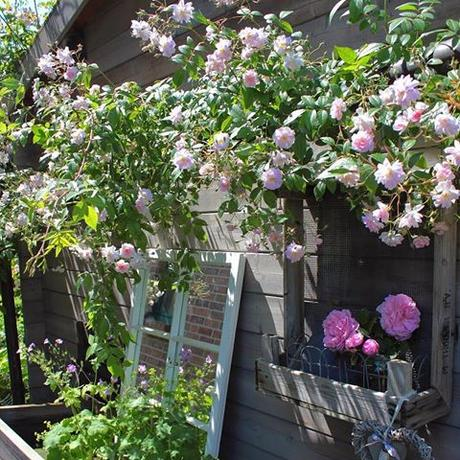 Paul's Himayalan Musk Rose behind the potting shed. It only flowers once but in abundance and has a wonderful scent.  Mjn klimroos Paul's Himayalan Musk achter het tuinhuisje Paul's Himayalan Musk hinter dem Gartenhaus. Dies ist eine meiner Lieblingsecken  #landelijketuin #landelijkesfeer #landliebe #landelijkestijl #tuin #landliebe #landliv  #mycountrycottage #countrycottage #instaflowers #instaflowers #instagarden #rosegarden #oldroses # #rosenliebe #mycottageinstincts # #countrygarden #klimroos #climbingroses #kletterrosen #rosengarten #heart_imprint #ramblingrose #paulshimalayanmusk #rambler #garden #garten