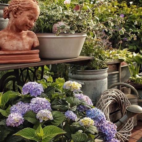 Hydrangeas 'Endless Summer' on a hot day in July. Have a fabulous Sunday everyone, filled with lots of sunshine, joy and happiness  Wat een heerlijke dag, de zon is eindelijk terug en de hemel is blauw!  Fijne zondag allemaal  Meine 'Endless Summer' Hortensien auf der Terasse. Habt einen wundervollen  sonnigen Sonntag heute Ihr Lieben!  Ich werde jetzt den Garten wieder fein machen nach den trüben letzten Tagen #landelijketuin #landelijkesfeer #landliebe #landelijkestijl #tuin #landliebe #landliv  #mycountrycottage #countrycottage #instaflowers #instaflowers #instagarden #rosegarden #oldroses #rosenliebe #mycottageinstincts #countrygarden  #heart_imprint  #garden #garten #hortensien #hortensia #hydrangeas #endlesssummer #instagardenlovers