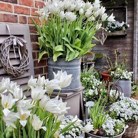 Time to say goodbye to my white spring container garden. This weekend, I will plant new summer flowers in pots around the house    Lentesfeer met witte tulpen afgelopen zondag. We zitten na de regen nog gezellig in de tuin. Heerlijk toch  Fijne avond  Mein weißer Topfgarten am vergangenen Sonntag. Am Wochenende ziehen dann endlich die Sommerblumen ein. Habt Ihr schon Neues gepflanzt?  #landelijketuin #landelijkesfeer #landliebe #landelijkestijl #tuin #landliebe #landliv #mycountrycottage #countrycottage #instaflowers #instaflowers #instagarden #mycottageinstincts #countrygarden #heart_imprint #garden #garten #mygatheredgarden #all_gardens #springgarden  #frühlingsdeko #liefdevoorbrocante #lente #frühlingsfieber #vintagegarden #tuindecoratie #tuinieren #gärtnern #galvanized #weisseblumen