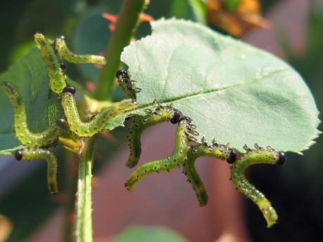 Parassiti, gli argidi delle rose - voracità