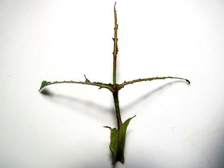 Parassiti, gli argidi delle rose - quel che rimane della foglia...
