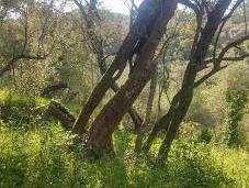 ulivi selvatici, guardiano folle custodi della Valle