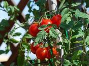Come coltivare pomodori vaso