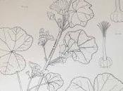 ILLUSTRAZIONE BOTANICA SCIENTIFICA Anita Walsmit Sachs