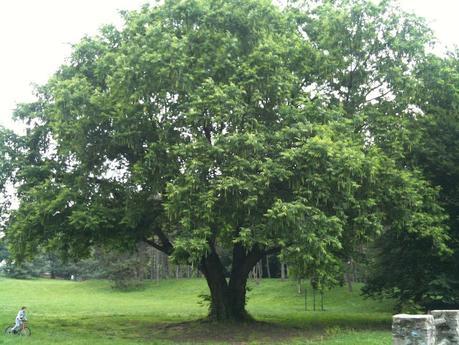 albero pellerina foro ambmIMG_1853