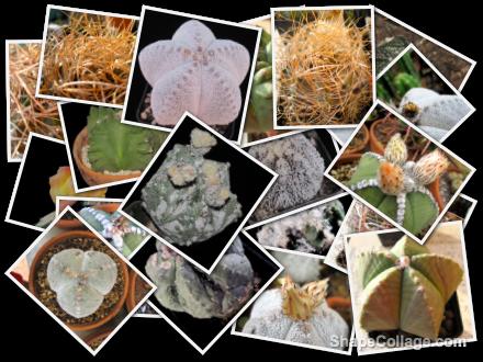 collage-astrophytum-cactus