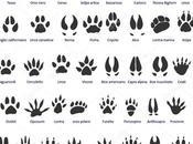 Tracce impronte degli animali: mammiferi