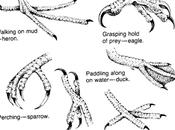 Tracce impronte degli animali: uccelli