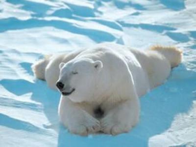 Notizie dall artico gli orsi polari chiedono aiuto for Affittare una cabina nel grande orso
