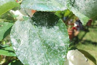 Malattie delle rose l oidio paperblog for Malattie delle rose