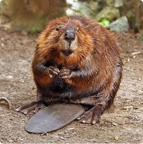 Beaver_thumb2_thumb