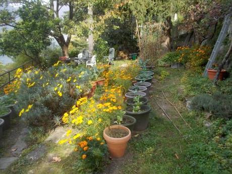 Il COLORE GIALLO dei TAGETI, nell'orto del ciliegio, autunno 2017