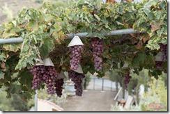 lemesos_agios_mamas_grapes_DSC_0979_Romos_Kotsonis