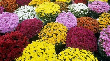 Crisantemi, Campania tra le maggiori produttrici: perché sono i fiori dei morti?