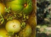 Pomodori verdi marinati quando arriva l'autunno