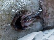 """Riapparso dopo anni largo delle coste australiane """"faceless"""" pesce senza faccia."""