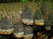 fungo dell'esca Fomes fomentarius