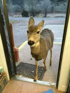 In Colorado, un cervo è entrato in un negozio