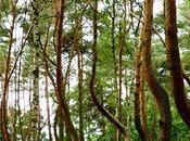 """Crooked Forest: fascino misterioso fiabesco della """"Foresta Storta"""" Gryfino, Polonia"""