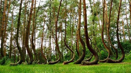 """Crooked Forest: il fascino misterioso e fiabesco della """"Foresta Storta"""" di Gryfino, in Polonia"""