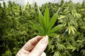 Il lato b della Cannabis