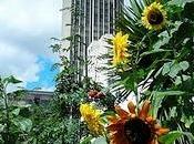 Sunflower Guerrilla Gardening