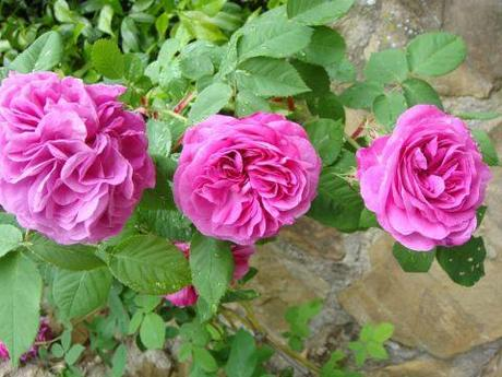 Risultati immagini per Marmellata di rose antiche paperblog