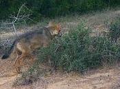 Storie lupi lupacchiotti alle porte Roma giro penisola