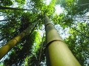 Investire bambù gigante: domande risposte