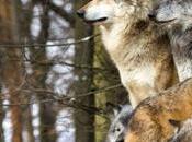 lupo scomodo assomiglia