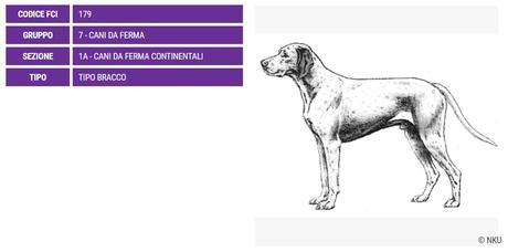 Bracco del Bourbonnais, carattere e prezzo - Razze cani